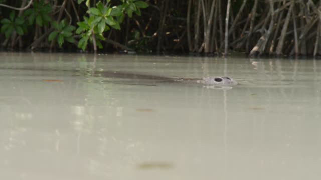 west indian manatee surfaces in swamp, belize - aquatic organism stock videos & royalty-free footage