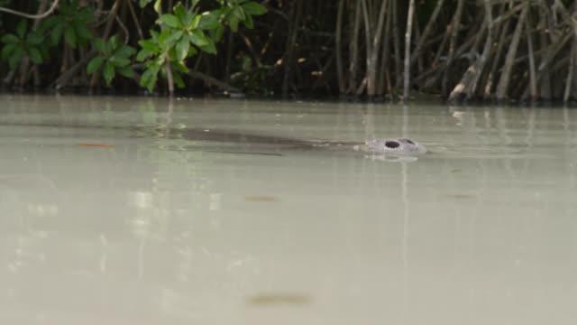 vídeos de stock e filmes b-roll de west indian manatee surfaces in swamp, belize - organismo aquático