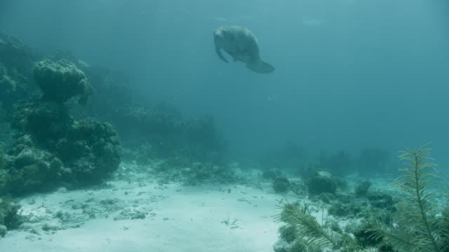 vídeos de stock e filmes b-roll de west indian manatee swims over reef, belize - organismo aquático