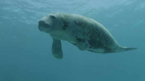 west indian manatee swims over reef, belize - tail stock videos & royalty-free footage