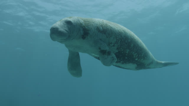 west indian manatee swims over reef, belize - lamantino video stock e b–roll