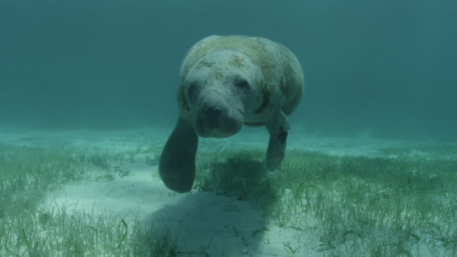 west indian manatee swims over sea bed, belize - lamantino video stock e b–roll