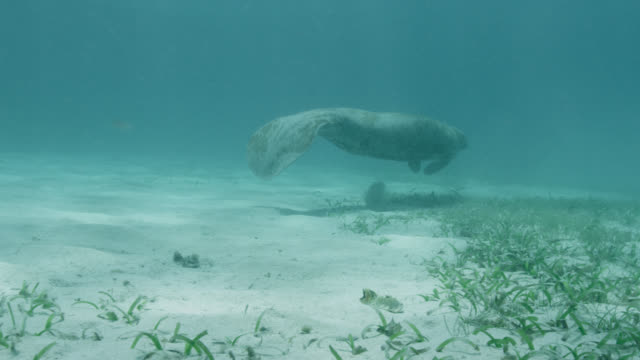 west indian manatee swims over sea bed, belize - sea grass plant stock videos & royalty-free footage