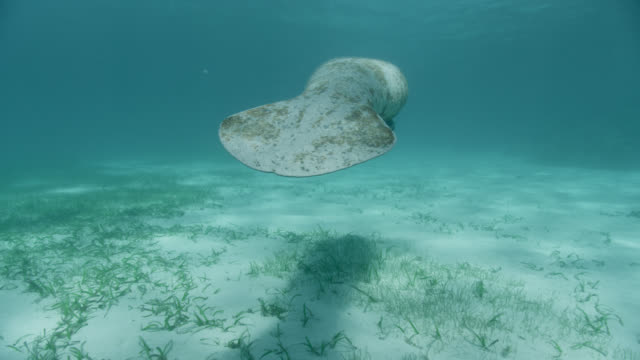 west indian manatee swims over sea bed, belize - rundschwanzseekuh stock-videos und b-roll-filmmaterial