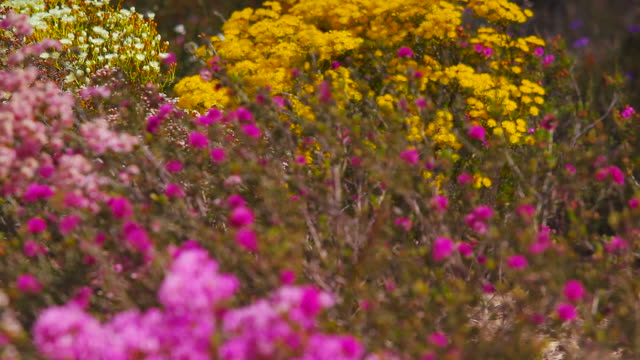 western australian wild flowers - wildflower stock videos & royalty-free footage