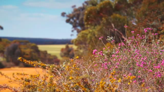 western australian wild flowers - wildflower stock videos & royalty-free footage
