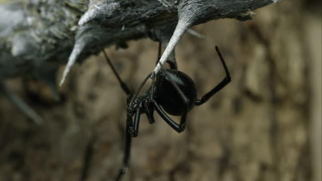 western black widow crawling around on a stick. - black widow spider stock videos & royalty-free footage