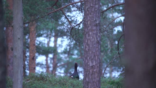western capercaillie (tetrao urogallus) - zoology stock videos & royalty-free footage