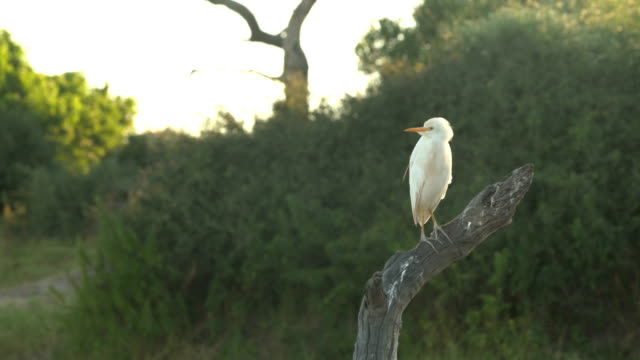 vídeos de stock, filmes e b-roll de western gado egret - zoologia