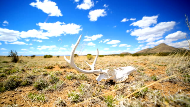 western desert concepts: deer skull on the ground - deer stock videos & royalty-free footage