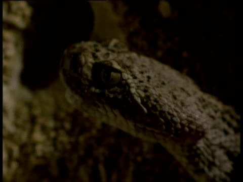 western diamond backed rattlesnake inside den opens mouth and briefly shows fangs then turns to look at camera and smells air with tongue, arizona - mouth open stock videos and b-roll footage