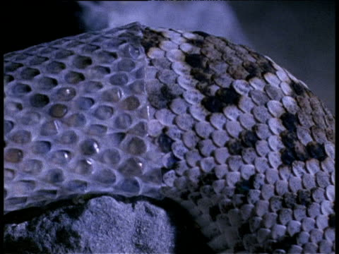 western diamond backed rattlesnake shedding skin at night, arizona - 抜け殻点の映像素材/bロール