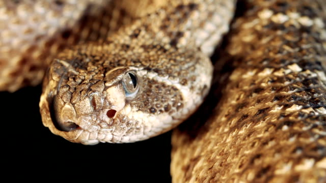western diamondback rattlesnake - snake stock videos and b-roll footage