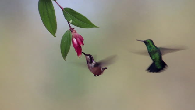 vídeos de stock, filmes e b-roll de western emerald and purple-throated woodstar hummingbird, andes, ecuador - dois animais