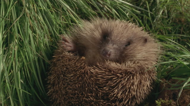 cu, western european hedgehog (erinaceus europaeus) curled up in ball in grass, united kingdom - curled up stock videos and b-roll footage