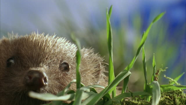 ECU, SELECTIVE FOCUS, Western European Hedgehog (Erinaceus europaeus) in grass, United Kingdom