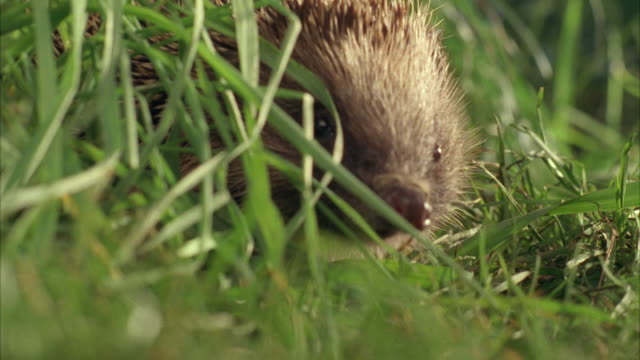 ecu, selective focus, western european hedgehog (erinaceus europaeus) in grass, united kingdom - primissimo piano video stock e b–roll