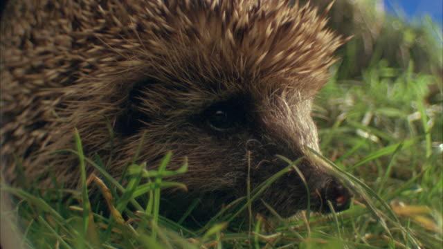 cu, selective focus, western european hedgehog (erinaceus europaeus) in grass, united kingdom - hedgehog stock videos & royalty-free footage