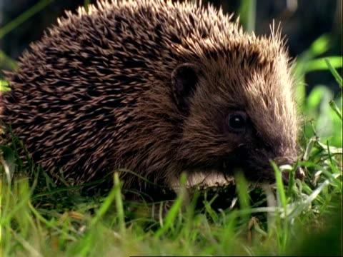 cu western european hedgehog (erinaceus europaeus) turns around, walks away, pans to other hedgehog - hedgehog stock videos & royalty-free footage