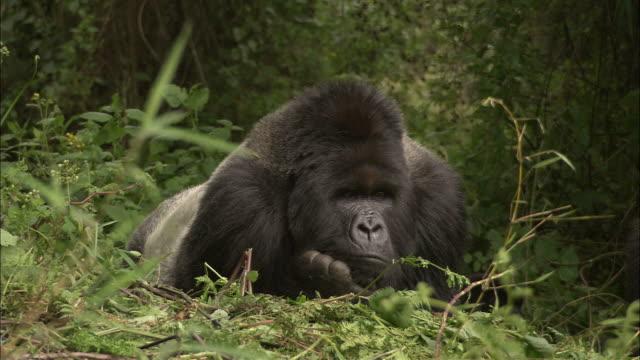 ms, western gorilla (gorilla gorilla) lying in forest nest, africa - two animals stock videos & royalty-free footage