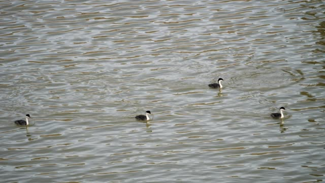 western grebe - montana western usa stock videos and b-roll footage