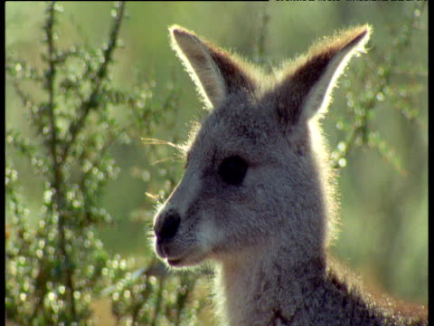vídeos de stock, filmes e b-roll de western grey kangaroo head, new south wales - squiggle
