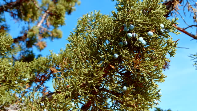 Western juniper berries branch and sky Spring Sutton Mountain John Day Great Basin High Desert Columbia Plateau