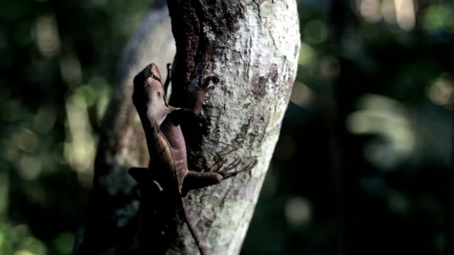 western leaf lizard, peruvian amazon, peru - reptile stock videos & royalty-free footage