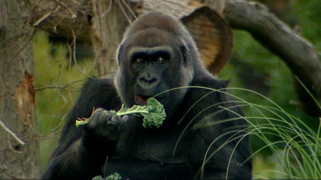 vidéos et rushes de western lowland gorillas at london zoo; gorilla eating item of fruit / gorilla eating cabbage leaves / gorilla running fast in enclosure / gorilla... - un seul objet