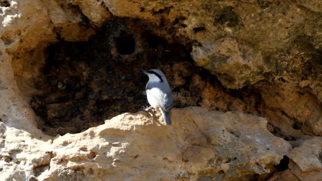 Western Rock nuthatch (Sitta neumayer) ,first ever video documentation of breeding biology, Mt. Hermon. Israel