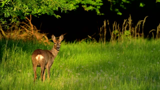 Western Roe Deer, Capreolus capreolus, in meadow in spring