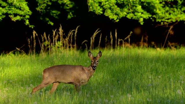 western roe deer, capreolus capreolus, in meadow in spring - naturwald stock-videos und b-roll-filmmaterial