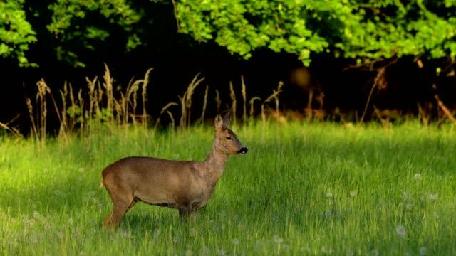 western roe deer, capreolus capreolus, in meadow in spring - deer family stock videos and b-roll footage