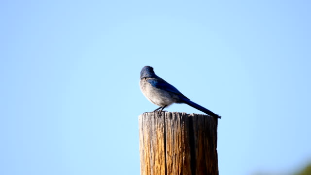 western scrub-jay - songbird stock videos & royalty-free footage