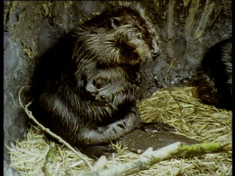 wet american beaver sits in lodge rubbing its belly and grooming - biber stock-videos und b-roll-filmmaterial