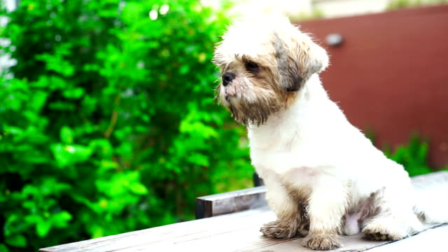 Shih Tzu Videos And B Roll Footage Getty Images