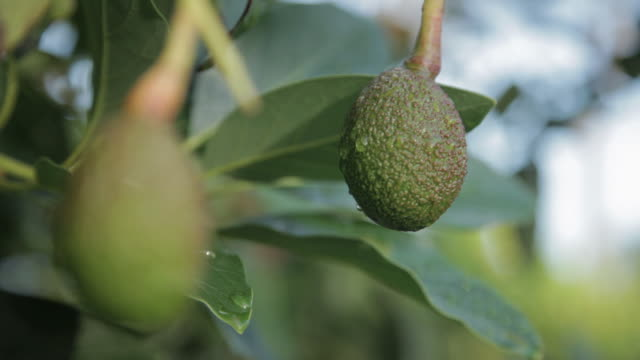 wet avocado - isola di kauai video stock e b–roll