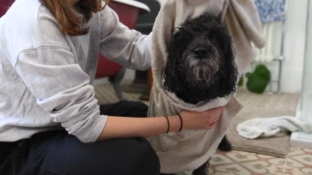 vídeos y material grabado en eventos de stock de wet dog being towel dried after a bath - darse un baño
