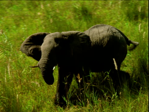 Wet elephant stands and walks quickly on long green grass