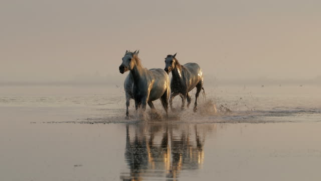 wet horses wading while splashing water in sea against sky at sunset - camargue, france - walking in water stock videos & royalty-free footage