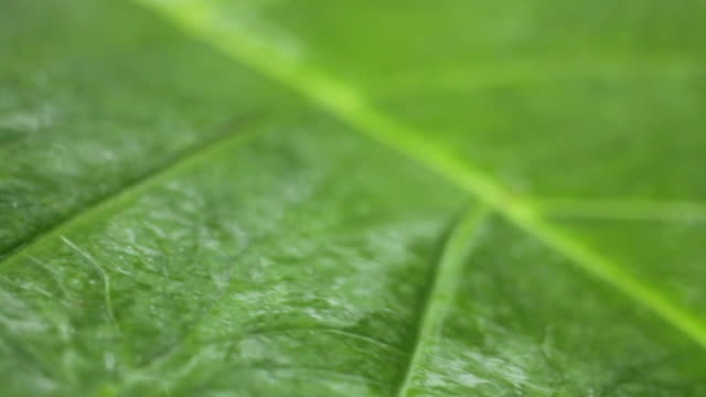 wet leaf - leaf vein stock videos and b-roll footage