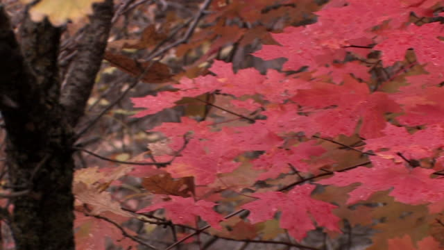 CU PAN Wet maple leaves in fall colors/ Canyon de Chelly National Monument, Arizona