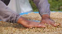 Wet process with coffee beans recently ripe.