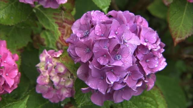 Wet Purple Hydrangea