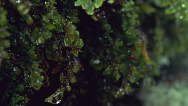 ECU, PAN, Wet rainforest moss, Fiordland National Park, South Island, New Zealand