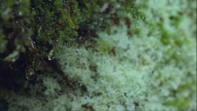 ecu, pan, wet rainforest moss, fiordland national park, south island, new zealand - moos stock-videos und b-roll-filmmaterial
