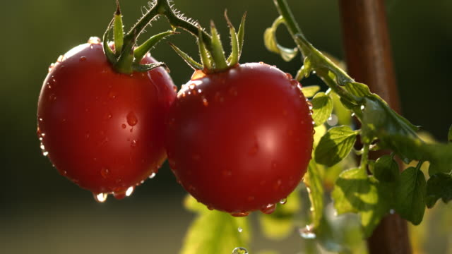 slo mo wet red tomatoes - tomato stock videos & royalty-free footage