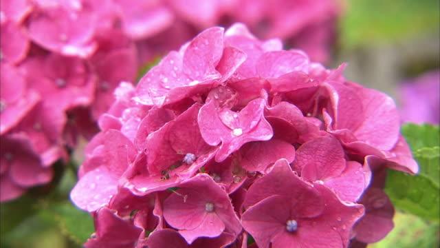 Wet Red-purple Hydrangea