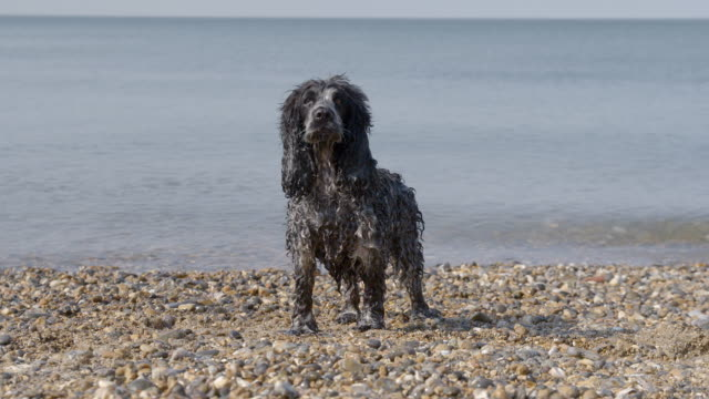Wet Spaniel standing on beach