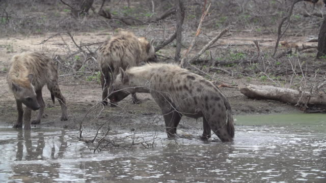 Wet spotted hyena walks out of water and past other clan members, Kruger National Park, South Africa